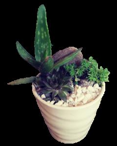 Aranjament plante suculente, cod APS06