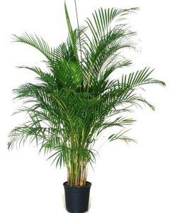 Palmier Areca XXL - Chrysalidocarpus Lutescens