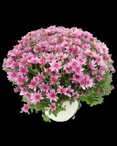 Crizantema - Chrysanthemum Indicum