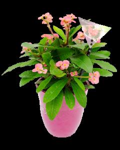 Euphorbia, Coronita lui Iisus - Euphorbia Milii