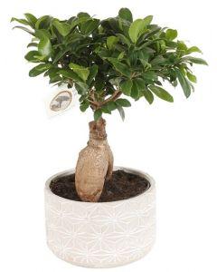 Ficus Microcarpa Ginseng - Bonsai