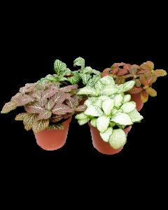 Planta Mozaic - Fittonia