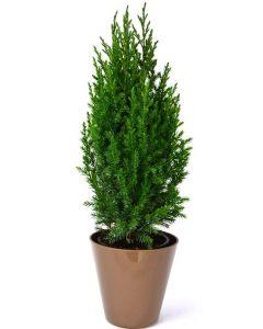 Ienupar Chinensis - Juniperus Chinensis