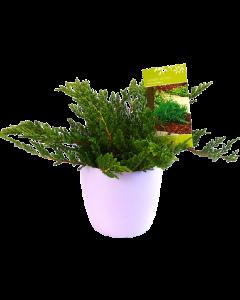 Ienupar Prince of Wales - Juniperus Horizontalis 'Prince of Wales'