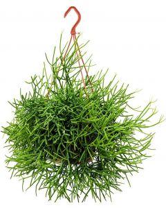 Cactus vasc RHIPSALIS
