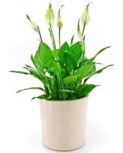 Crinul Pacii - Spathiphyllum wallisii