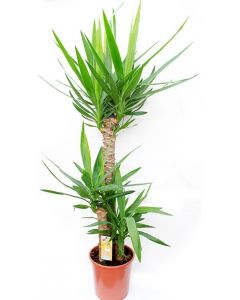 Yucca cu 3 tulpini - Yucca Elephantipes